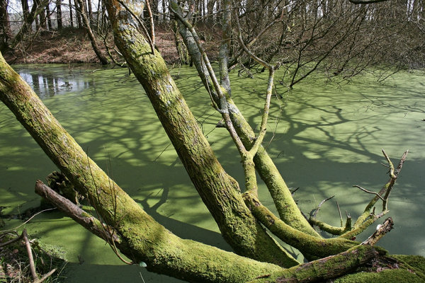 Green pond: An overgrown neglected pond almost entirely covered with green duckweed (Lemna).