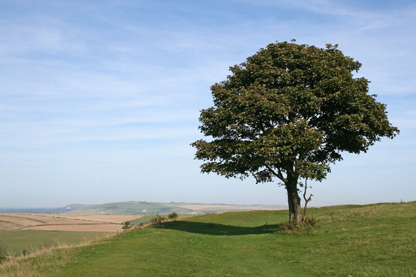 Lone tree: An isolated sycamore (Acer) tree on the South Downs, West Sussex, England, in summer.