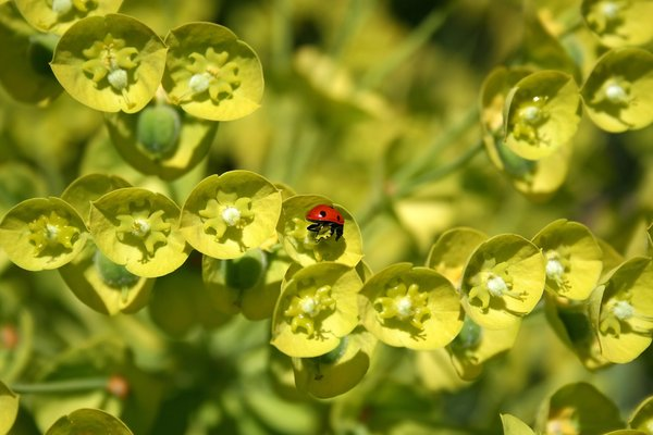 Intruder: A ladybird beetle (Coccinellidae) exploring the lime-green flowers of a Euphorbia cultivar in a garden in England in spring.