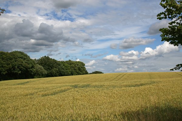 Sussex field: A steep field of grain in West Sussex, England, in summer.