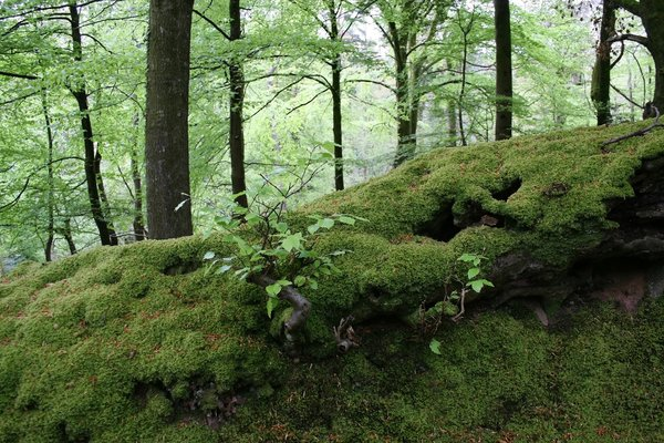 Mossy forest: An old mossy bank in a forest of beech (Fagus sylvatica) trees in Exmoor, England, in spring.