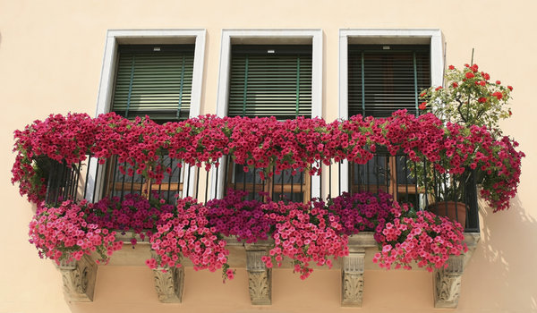 Floral balcony: Petunias in flower on an old balcony in Padua, Italy.