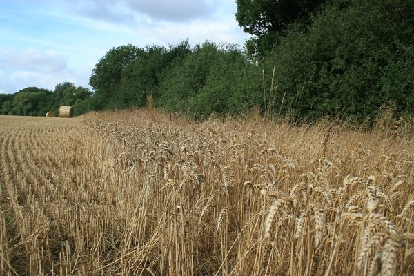 Field edge wheat: Unharvested wheat on the edge of a field in West Sussex, England, presumably left for gamebirds to feed on.