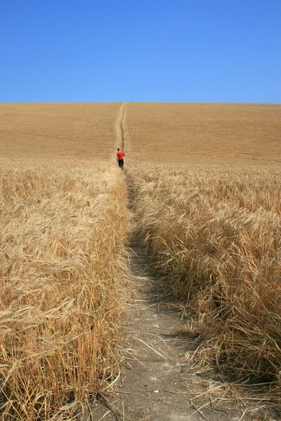 Walking through barley: A man walking through a field of barley (Hordeum) in West Sussex, England.
