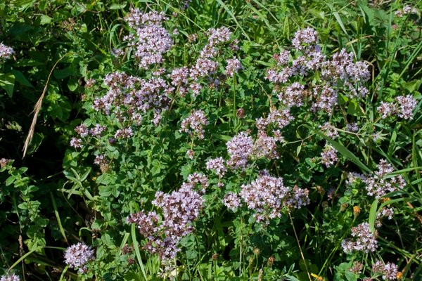 Wild marjoram flowers: Wild marjoram (Origanum vulgare, also called oregano) an edible herb in flower on the South Downs, West Sussex, England.