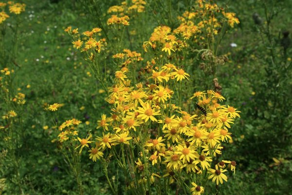 Wild ragwort flowers: Wild ragwort (Senecio jacobaea) growing in a damp meadow in West Sussex, England.