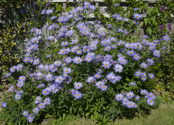 Autumn daisies: Michaelmas daisies in a garden in England in early autumn.