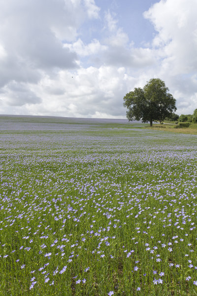 Linseed crop: A crop of linseed or flax (Linum usitatissimum) in flower in Sussex, England.