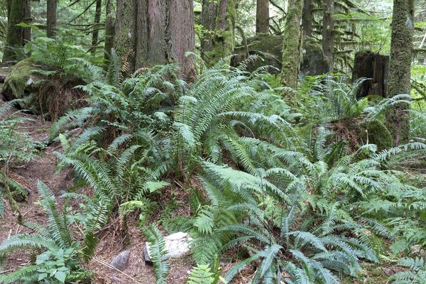 Fern forest: Ferns in temperate rainforest near Vancouver, Canada.