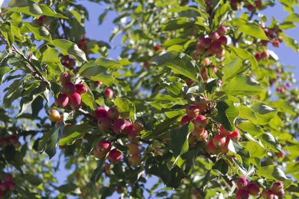Crab apples: A crab (ornamental) apple tree in a garden in western Canada.