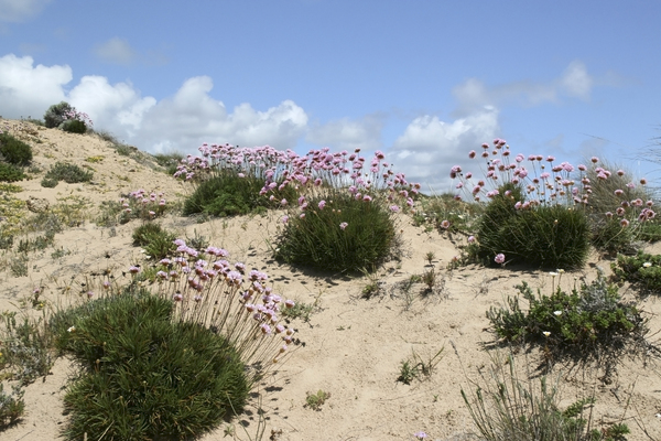 Sand dune flowers: Thrift (Armeria) flowers growing on sand dunes in southern Spain.
