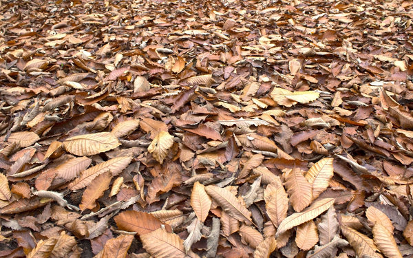 Autumn leaves: Fallen leaves - mainly of sweet chestnut (Castanea) - in Surrey, England, in autumn.