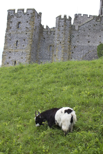 Goat by a castle: A goat grazing on a castle mound in England.