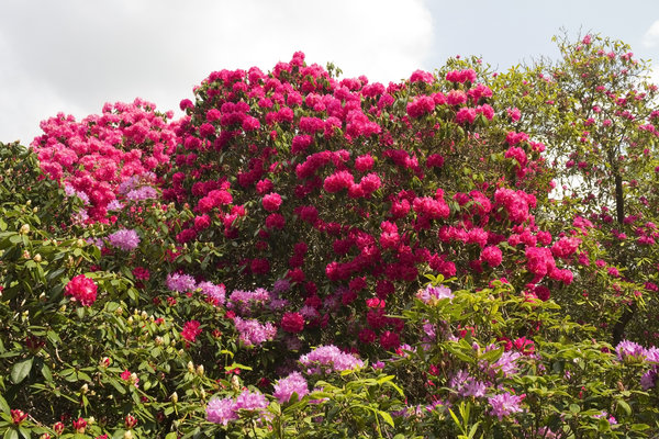 Rhododendron flowers: Rhododendrons in flower in a woodland garden in West Sussex, England.
