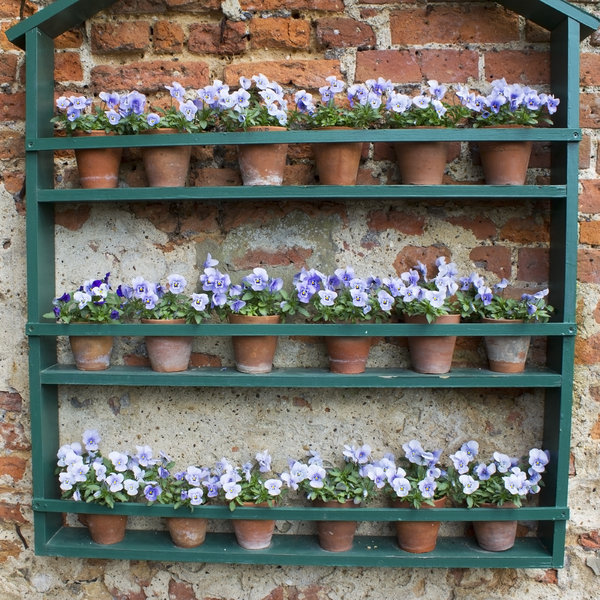 Flower display: Pansies in flower on an external wall display in England in spring.