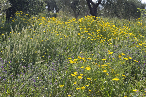 Orchard flowers: Wild flowers in an olive orchard in spring in southern Italy.
