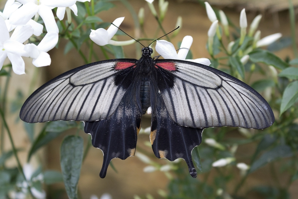Indigo butterfly: A grey and indigo coloured swallowtail butterfly in a tropical greenhouse.