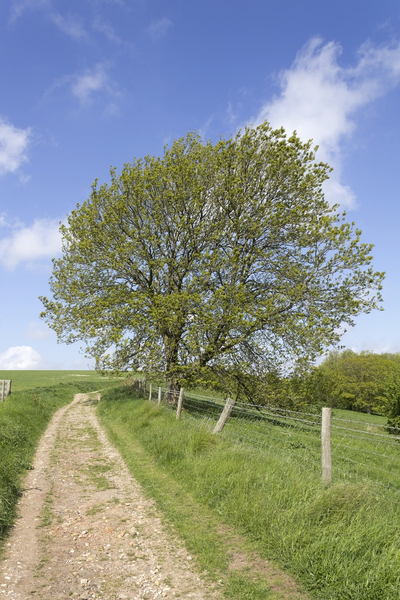 South Downs tree: An ash (Fraxinus) tree in spring on the South Downs, England.