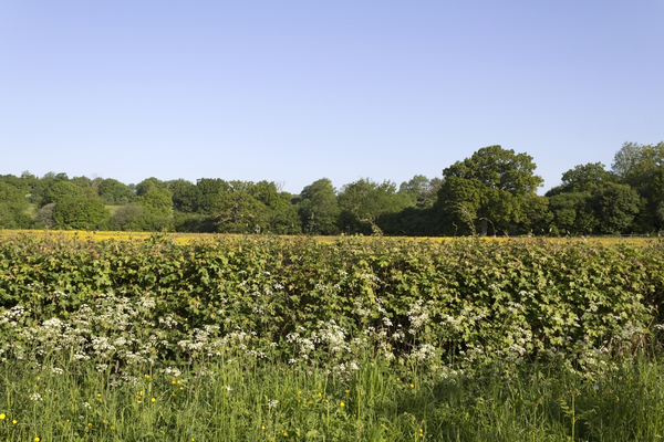 Spring hedgerow: A hedgerow and verge in West Sussex, England, in spring.