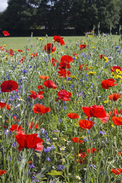Wild flowers: Wild summer flowers characteristic of traditional cornfields in England.