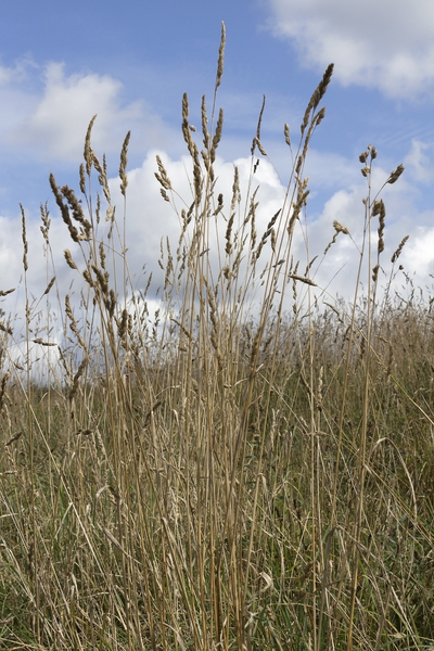 Wild grasses in summer: Wild grasses in summer in a country park in England.