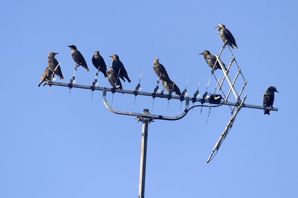Suburban birds: Starlings (Sturnus vulgaris) congregating on a suburban rooftop in West Sussex, England, in early evening.
