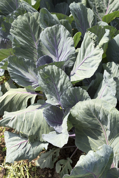 Cabbage plants: Cabbage plants in a garden in Wiltshire, England.