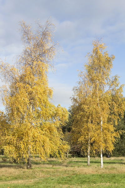 Birch trees in autumn: Silver birch (Betula) trees in autumn in a park in London, England.