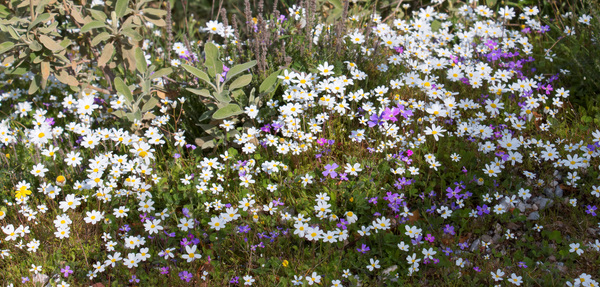 Wild flowers: Wild flowers in southern Greece in spring.