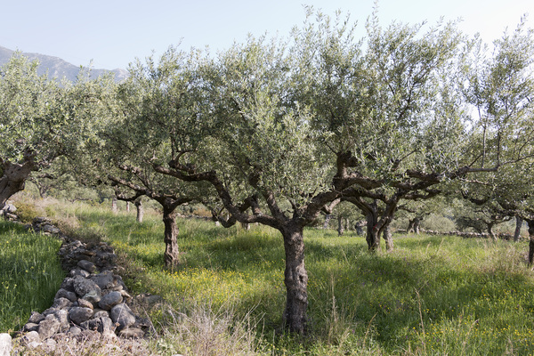 Olive orchard: An orchard of olive (Olea) trees in southern Greece in spring.