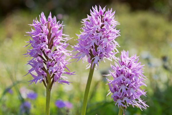 Wild orchids: Orchis italica, commonly known as the naked man orchid or the Italian orchid, flowering in southern Greece in spring.