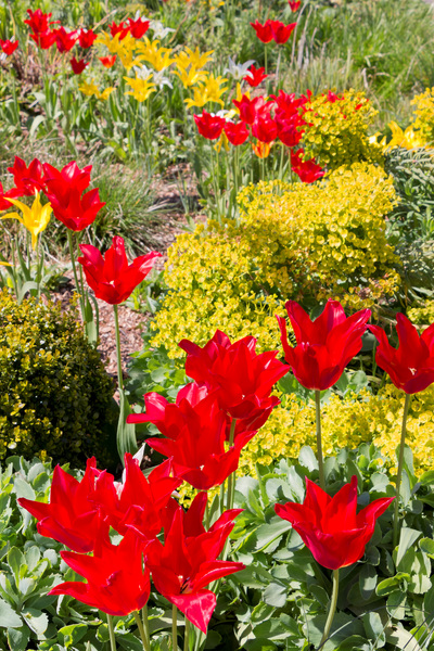 Spring flowers: Tulips and spurge (Euphorbia) in flower in a garden in West Sussex, England, in spring.