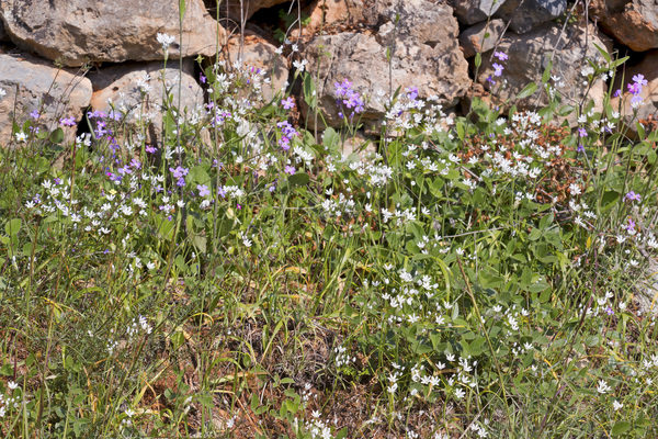 Wild spring flowers: A roadside verge of wild Allium and other flowers in southern Greece in spring.