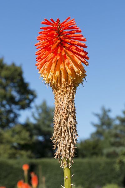 Redhot poker flowers: Redhot poker (Kniphofia, also called torch lily) flowers in a garden in England.