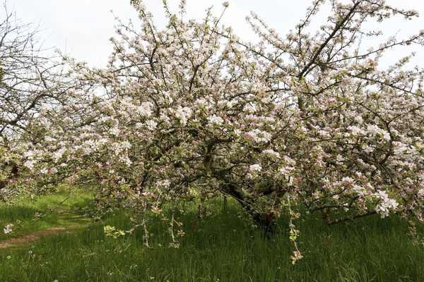 Apple orchard: Apple trees in blossom in an orchard in Cornwall, England.