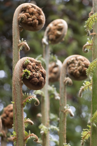 Tree fern fronds: Tree ferns with fresh developing spring growth in a garden in Cornwall, England.
