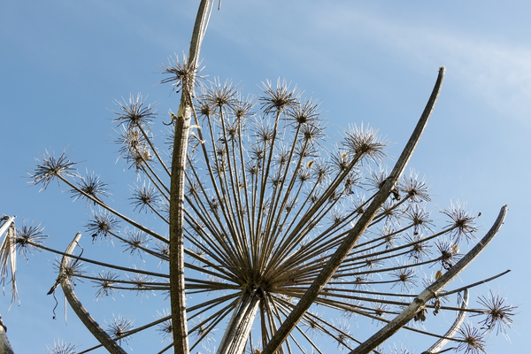 Dead flowerheads: Dead stems and flowerheads of giant hogweed (Heracleum mantegazzianum) in West Sussex, England.