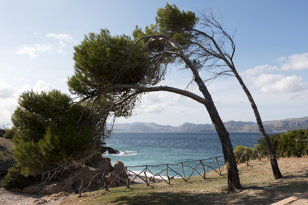 Conifer arch: Arching conifers on the coast near Alcúdia, Majorca, Balearic Islands, Spain.