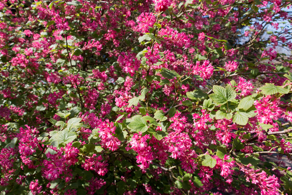 Flowering currant bush: Currant (Ribes) flowers in a garden in England in spring.