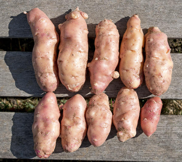 Pink Fir Apple potatoes: A strange old heritage variety of potato, Pink Fir Apple, harvested from my allotment.