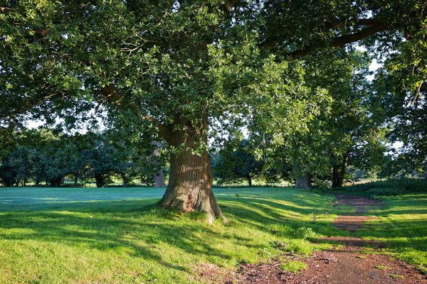 Parkland: Parkland with oak (Quercus robur) trees in early morning light in Surrey, England.