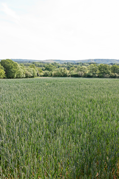 Developing wheat field: A growing wheat crop in West Sussex, England.