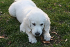 Golden Retriever: My Golden Retriever. It is a beautiful dog.  It´s Zar!