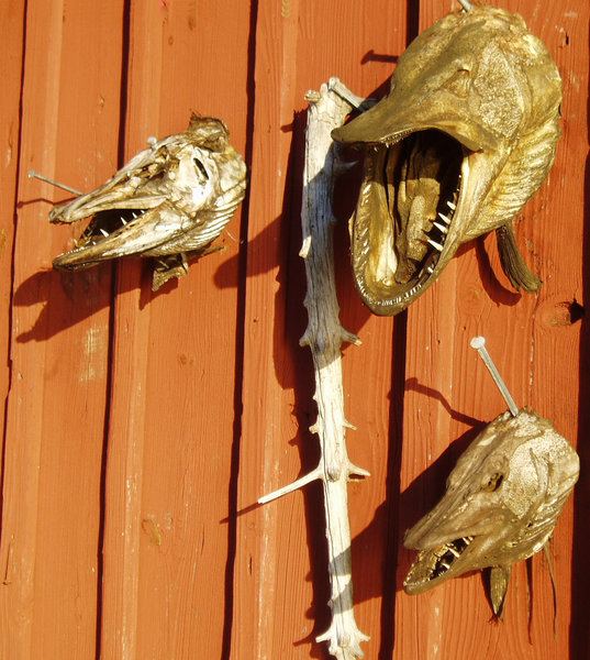 Dry fish heads on a boathouse: Big pikes look like small dragons.