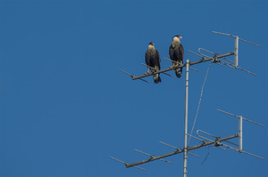 sparrowhawk: Two sparrowhawks watching from the top of the antenna.