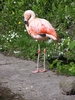 Flamingo: A huge red birds in the zoo.