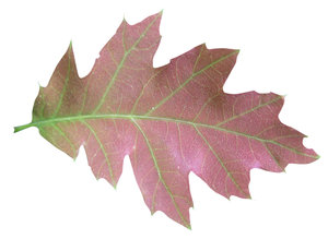 Leaf: Green and red leaf.