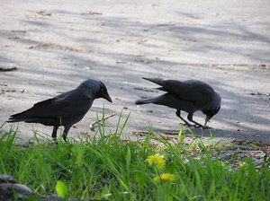 Jackdaws during the romantic w: Two of jackdaws during the romantic walk. Here in Poland we call that birds