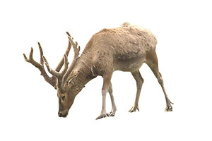 Reindeer: A reindeer cut-off.Please mail me or comment this photo if you find that reindeer useful. Thanks for letting me know.