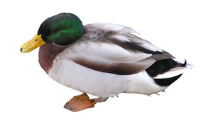Duck: A mallard duck, male.